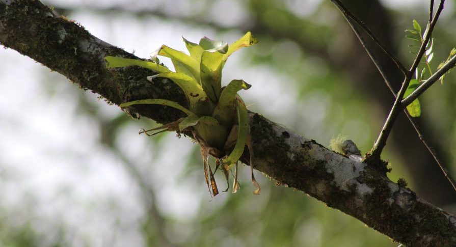PESM Itariru - Flora - Bromélia