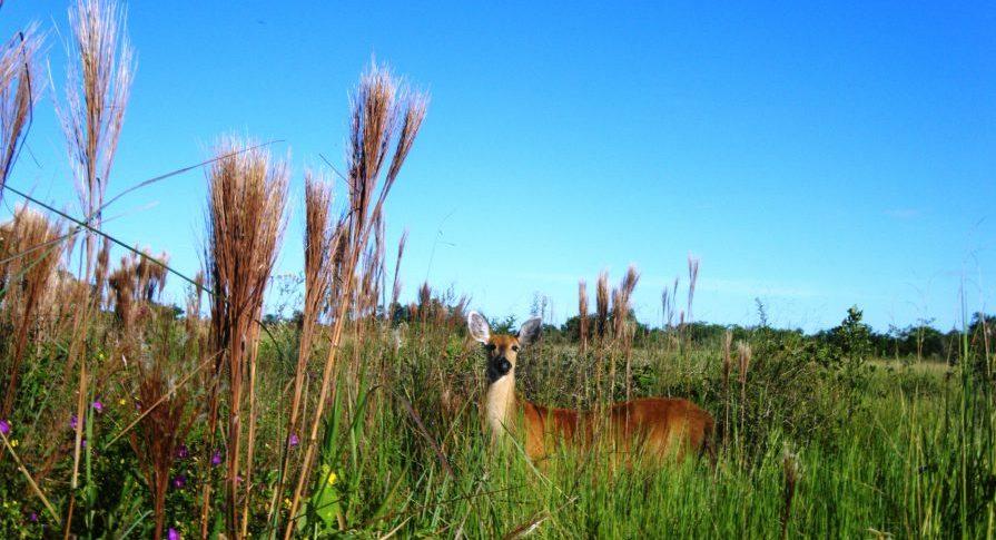 PE Rio do Peixe - Femea Cervo do Pantanal