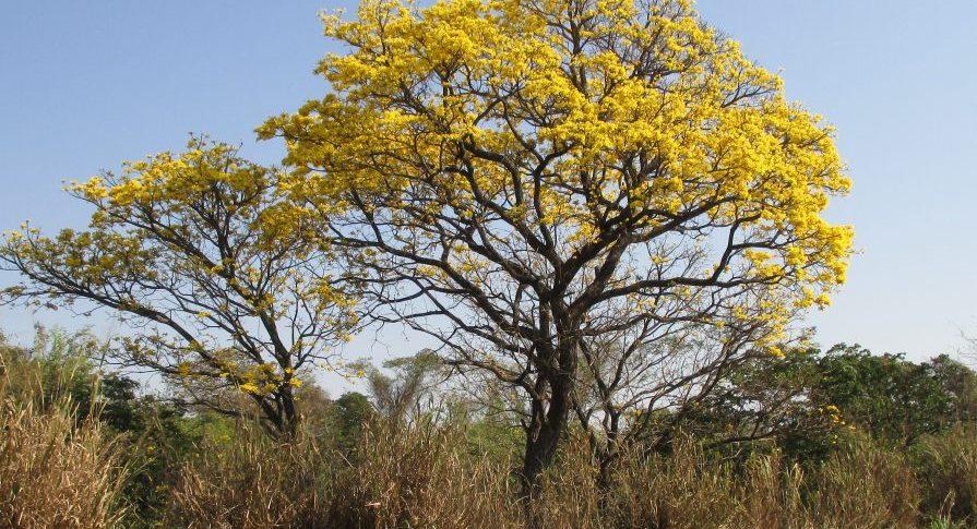 PE Rio do Peixe - Flora - Ipê Amarelo