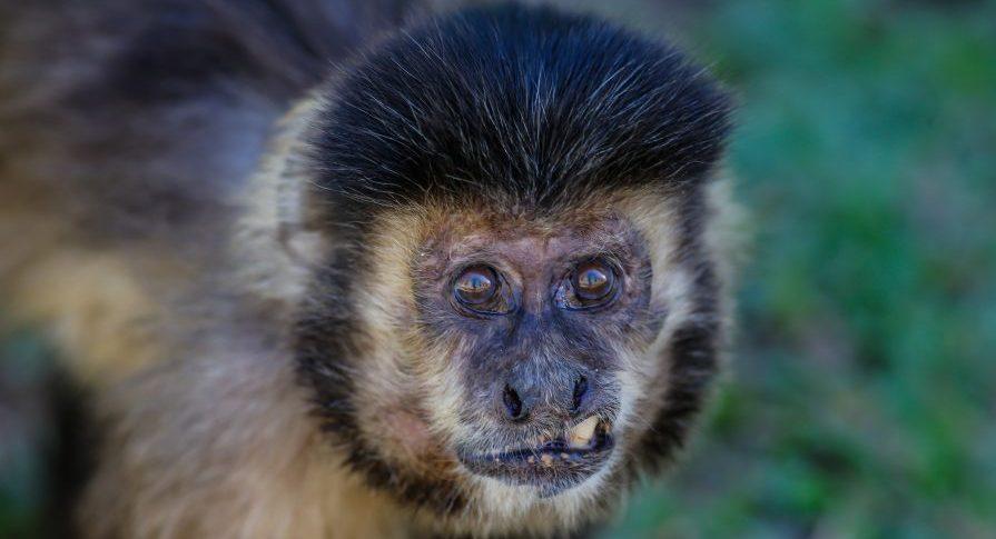 PE Ilha Anchieta - Fauna - Macaco Prego
