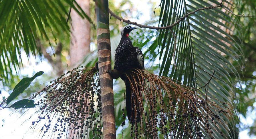PESM Caraguá - Fauna - Jacutinga e Juçara