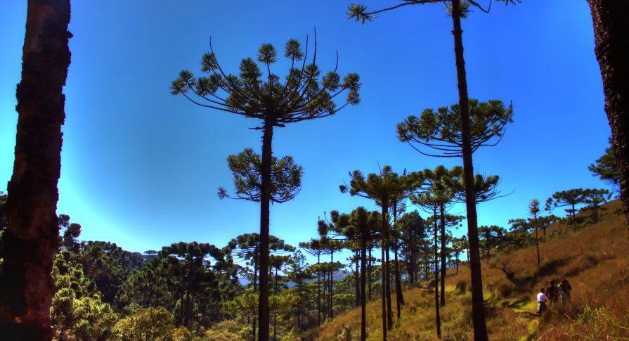 PE Campos do Jordão - trilha com araucarias