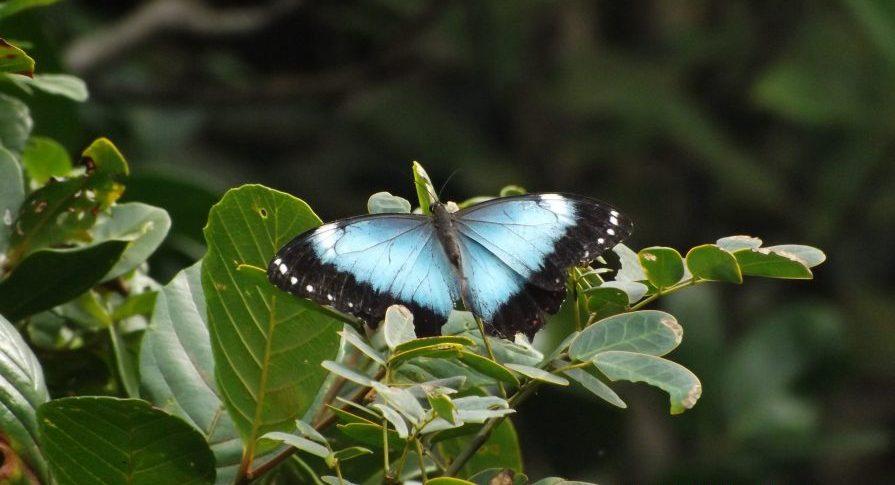 PE Prelado - Fauna - Borboleta Azul