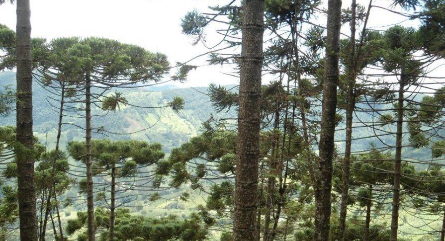 MONA - Pedra do Baú - Flora - Araucárias