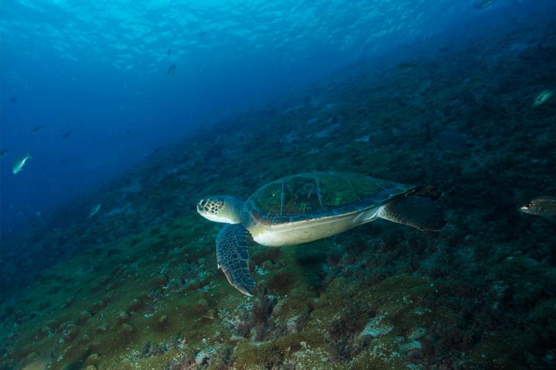 PE Marinho - Laje de Santos - Tartaruga