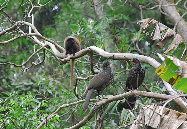 Parque Estadual Cantareira - fauna macaco e aves