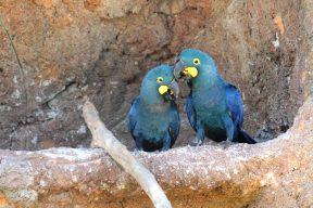 Arara-azul-de-lear tem filhotes em zoo do interior de São Paulo